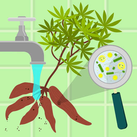 Contaminated manioc being cleaned and washed in a kitchen. Microorganisms, virus and bacteria in the vegetable enlarged by a magnifying glass. Running tap water.
