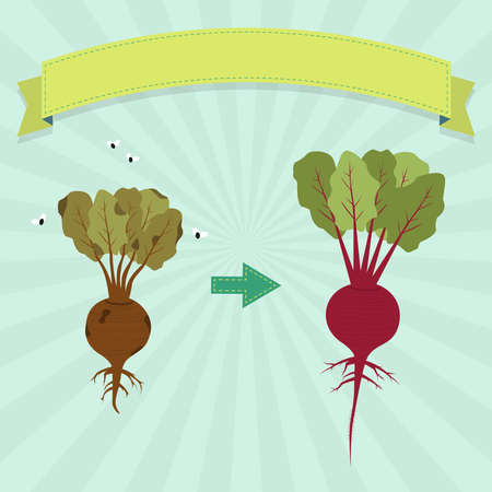 New beet and rotten beet with flies. Blank ribbon for insert text.