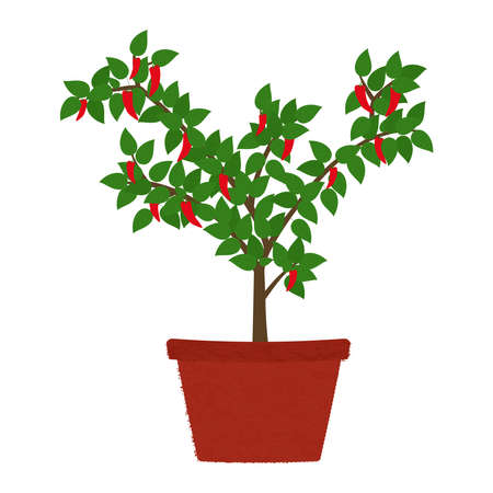 Chilli pepper tree in clay vase. Isolated. White background.