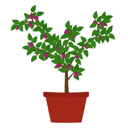 Raspberry fruit tree in clay vase. Isolated. White background.