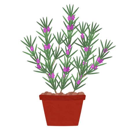 Rosemary tree with flowers in clay pot. Isolated. White background.