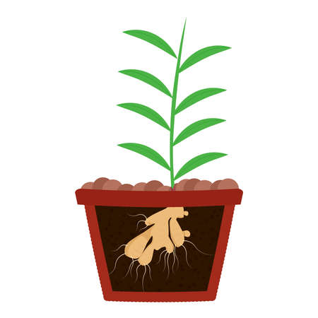 Planting ginger tree in clay pot. Leaves of ginger and root on the soil. Isolated. White background.  Иллюстрация