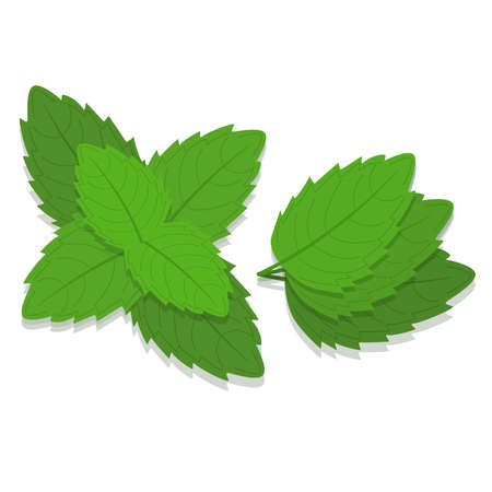 Mint leaves branch. White background. Isolated.