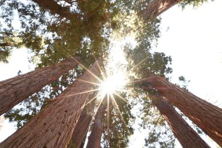 sequoia: Sequoia Giant Redwood