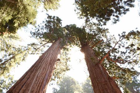 Sequoia Giant Redwood