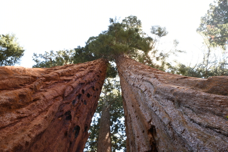 giant: Sequoia Giant Redwood Tree Stock Photo
