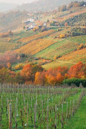 Italian vineyard in autumn at sunset photo