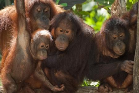 orangutan: The large family orangutans at Singapore Zoo