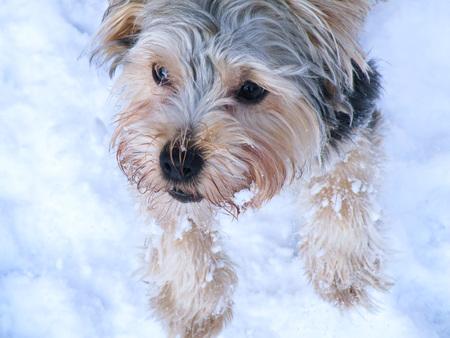 sunny day: Perro Yorkshire Terrier en la nieve durante el d�a soleado en invierno