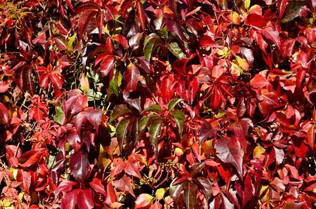 autumn colour: Autumn leaves changing colour, background Stock Photo