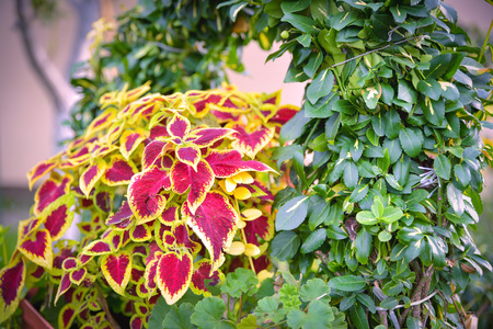 The Coleus blumei plant has very colorful foliage and is popular as a houseplant and in gardens. Its geographic origin is Southeast Asia and Malaysia.