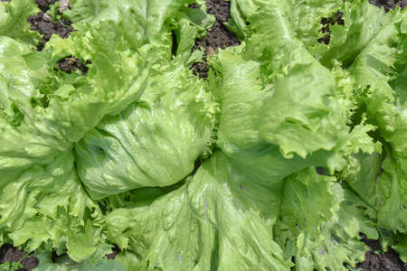 Green leaves of salad on a  garden bed in the sunlight, top view.