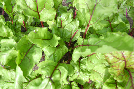 Top view of young beetroot plants growing on the vegetable bed. Stock Photo