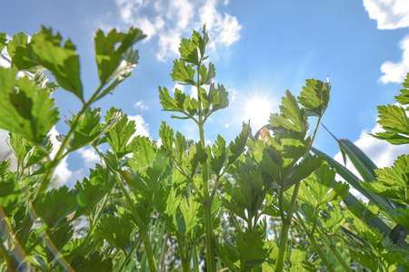 Parsley growing in the garden. Fresh greenery leaves background. Organic lush foliage. Underside view