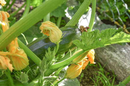 Green squash, courgette growth in the garden. Selective, summer. Underside view Stock Photo