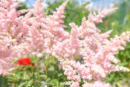 Colorful pink fern flowers in garden. Blooming bushes of bright fern at spring sunlight. Nature, spring flowers.