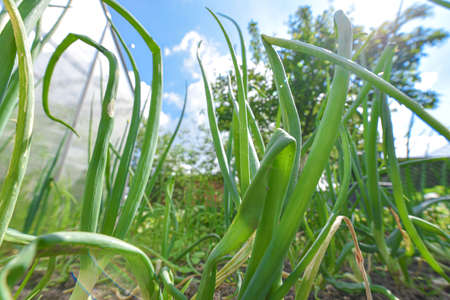 Green spring shoots of green young onion in the garden, healthy food concept, underside view. Stock Photo