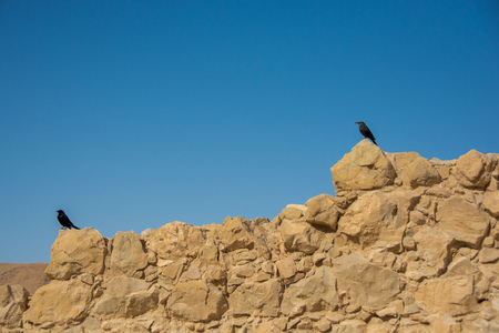 Tristram's starling in Masada mountain