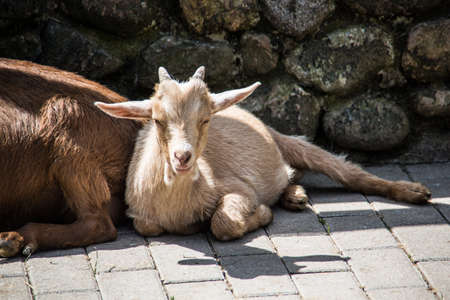 brown white goats foraging Stock Photo