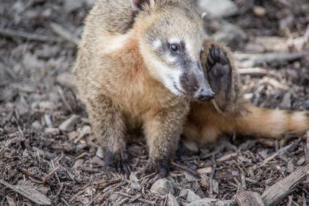 Coati searches for edible