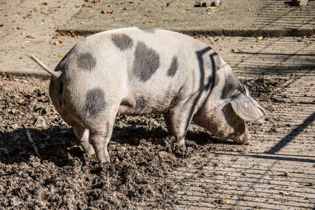 Domestic pig in the mud