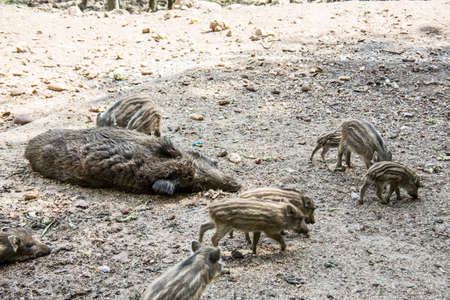 Wild boar with freshlings in the mud