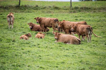 brown cows in pasture Фото со стока