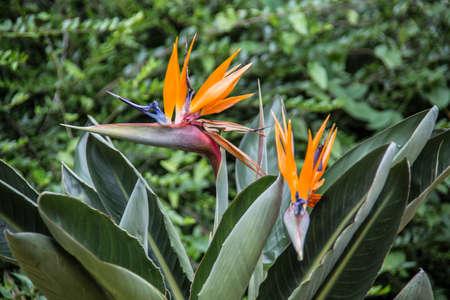 orange flowers of the flamingo flower Banque d'images