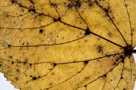 autumnal beech leaf with leaf veins