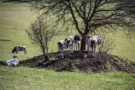 Cows seek shade under tree
