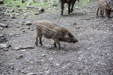 wallowing boars in the forest