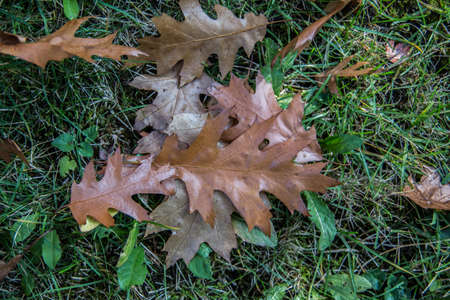 red brown oak leaves as autumn leaves