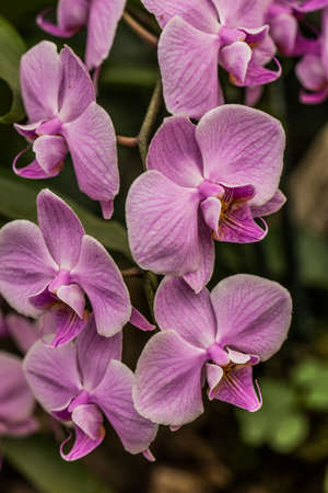 purple blooming moth orchid