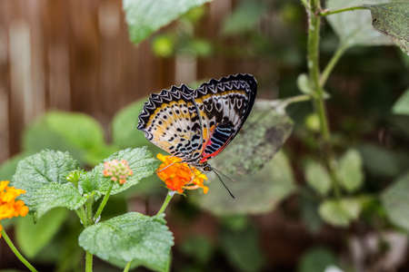 tropical leopard lace butterfly