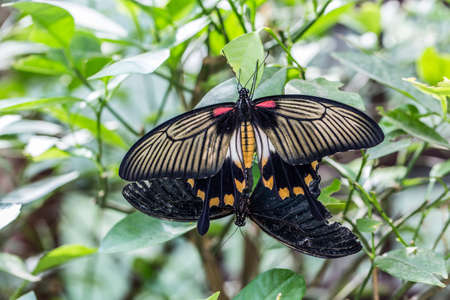 great tropical mormon knight butterfly