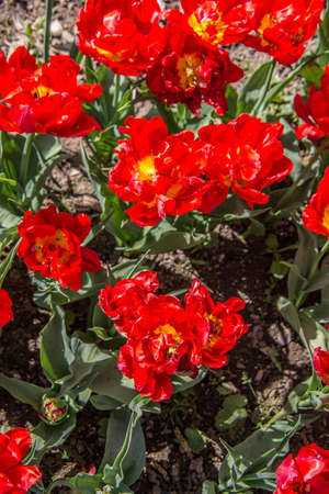 red yellow tulip blossom in the castle park