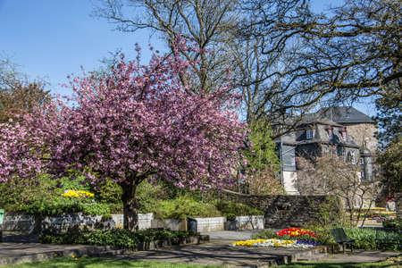 Cherry tree with pink flowers in the Schloßpark Siegen