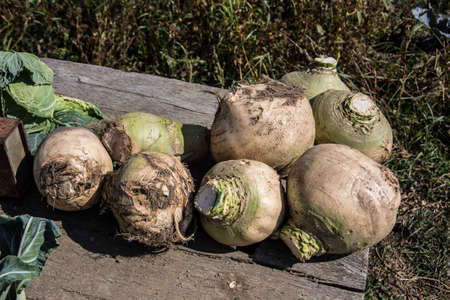 Stack of sugar beets fresh from the field