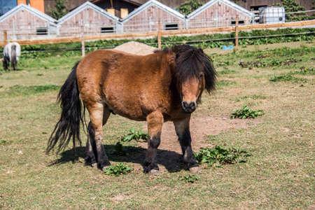 Pony grazing on pasture