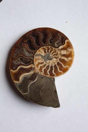 Petrification pyritized, 150 million years old, Bavaria