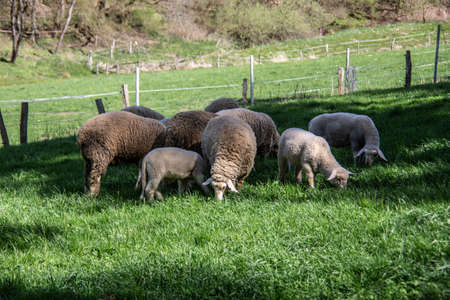 Sheep with lambs in the pasture