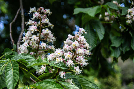 Chestnut tree in bloom with upright inflorescences