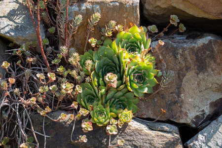 Dry stone wall with houseleek plants Stock Photo