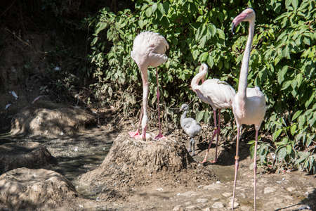 Flamingos with long legs strut around Banque d'images - 154980890