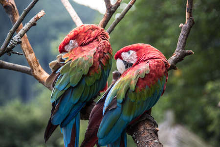 red blue green big parrots from south america Banque d'images