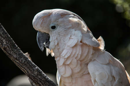 Cockatoo sits in the tree