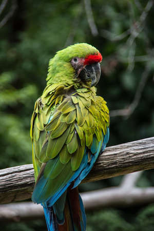 red blue green big parrots from south america Banque d'images - 154980896