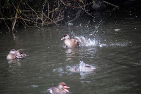 Ducks ripple in the water