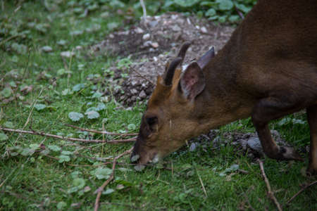 little muntjak deer in the forest