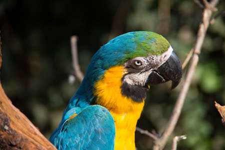 colorful big blue, red, green parrots in the tree